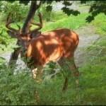 deer hunting recurve